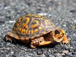 Mating Behavior and Reproduction of a Turtle
