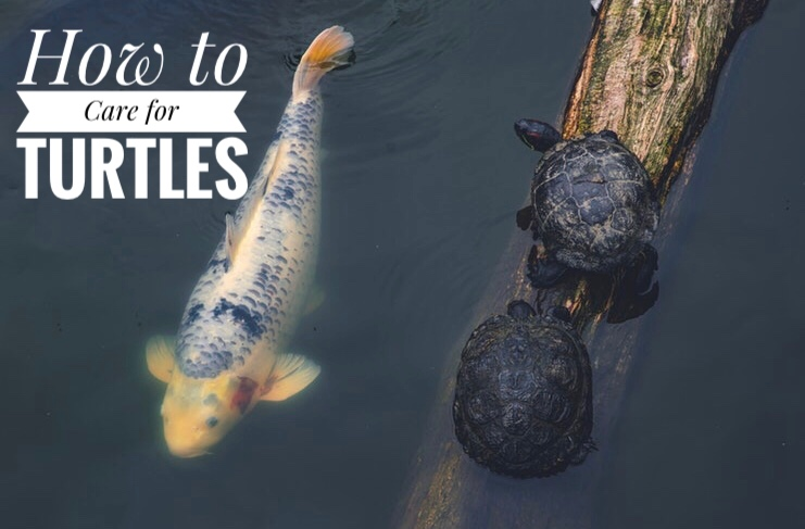 How To Care For A Pond Turtle