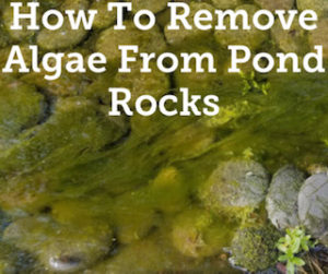 How To Remove Algae From Pond Rocks Quick Easy Help Your Pond